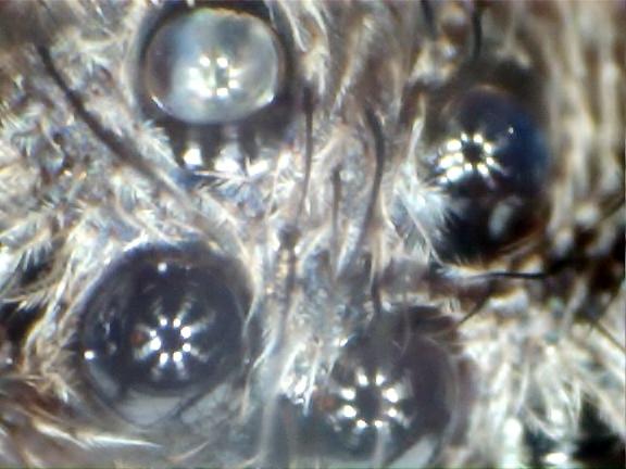 Edderkop øjne